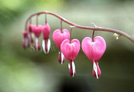 Love photo photography print love heart hearts, dicentra, bleeding heart, flower, flowers, garden, botanical art, by StrawHouseArt on Etsy