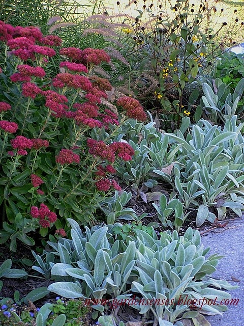 Gray, fuzzy Lamb's Ears (Stachys byzantina) layer well with Showy Sedum.  I bought a pack of Lambs Ear seeds from the Sample Seed Shop and now have thirty plants!  So easy to grow!