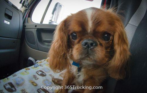 More Volunteer Trucker Pet Transports - Whisper And Charlie