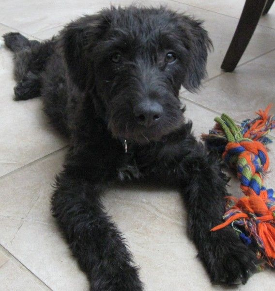 Shaggy - an american staffordshire terrier, miniature poodle mix. I need one!