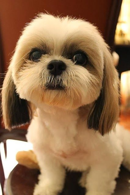 what does a shih tzu look like top 10 smallest dog breeds the pet s planet looks so 8773