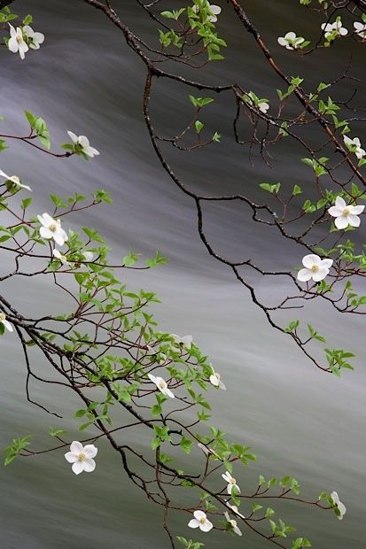 Delicate River Dogwood tree in bloom in Yosemite Valley California..simply…