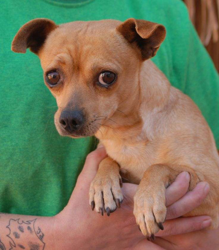 Alvin is a young, tender-hearted boy who pines for acceptance.  He feels most content in the arms of someone kind and gentle.  Alvin is a Chihuahua, 18 months of age, neutered, and debuting for adoption today at Nevada SPCA (www.nevadaspca.org).  A home with a big brother or sister dog may be ideal to help him adjust.  Alvin was at another shelter that asked for our help due to his timidity