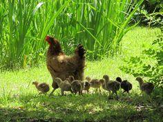 Baby chicks taking a walk
