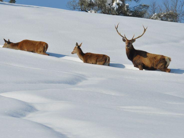 Cervi nella neve Parco Nazionale del Gran Sasso e Monti della Laga
