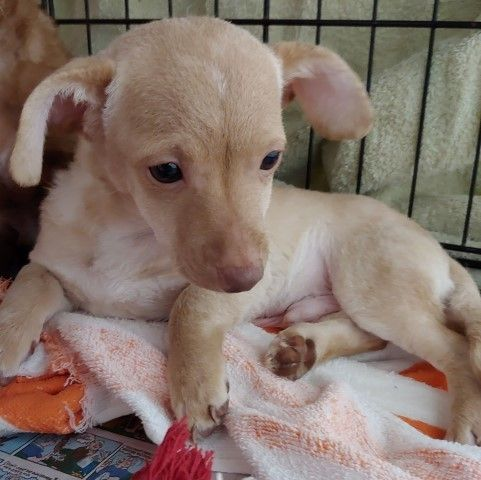 Adopt Ed On Pets Chihuahua Mix Chihuahua