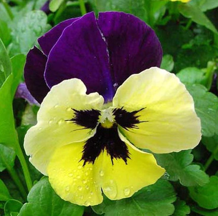 500 Pansy Seeds Character Yellow & Blue Buy Flower Seeds Online