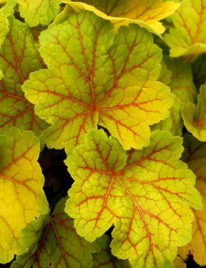 """'Electra' Coral Bells. Hmmm, do I want part of the shade garden to look """"Jurassic Park""""? Or all of it look Pacific NW (and if so, like natural woods here, or like gardeners tend to do, here?) lol, undecided."""