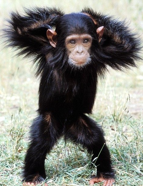 One two and One two, someday I'm going to be no longer a Baby Chimp