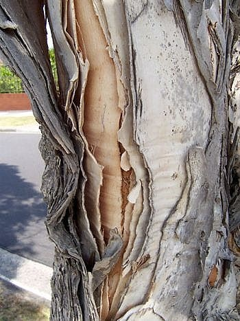 Paperbark. These trees loose strips of bark and true to its name, the strips really are like thick sheets of handmade paper. You can even paint on them......