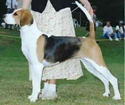 The English Foxhound is a courageous, passionate hunter. High energy, it needs a lot of daily exercise. It responds well to leadership and is willing and able to be obedient, but is not as responsive as some breeds and training takes patience and a general understanding of the canine animal. They are friendly with people and excellent with children, but prefer to be in the company of other dogs and do well with other animals. The English Foxhound likes to bay.