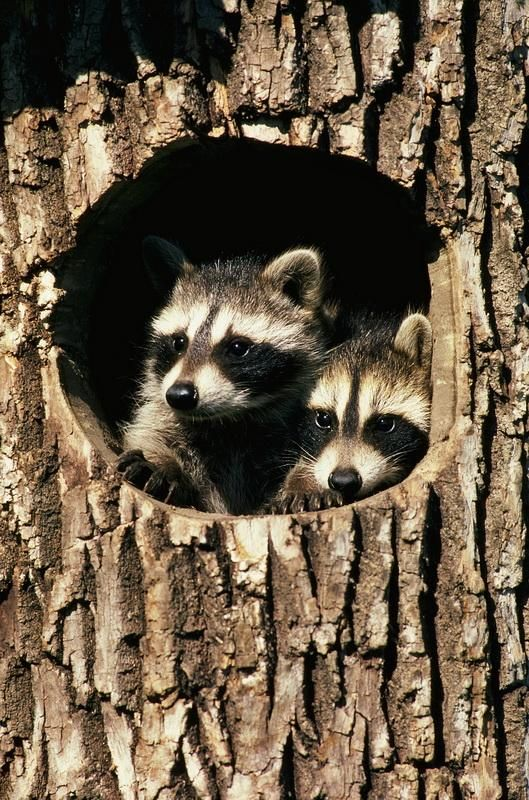 Raccoons are found across southern Canada, throughout most of the United States, and into northern South America.