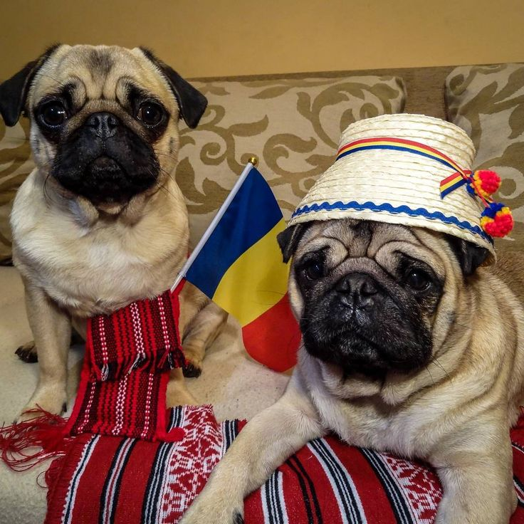 La multi ani România!  Today we celebrate our national day  #mauricethepug #bubble #queenb #romania #lamultianiromania #1decembrie #mareaunire #flag #nationalday #tirgumures #pugstory #pugchat #puglife #pug #mops #dog #puppy