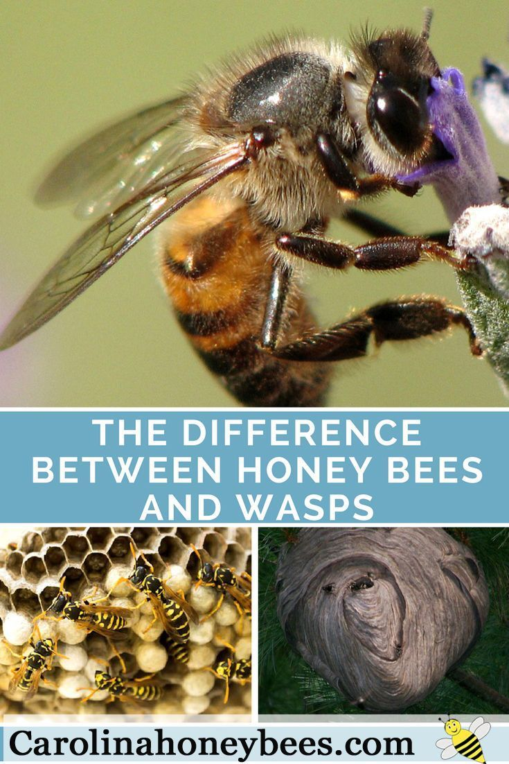 180 best save our pollinators images on pinterest backyard do you know the difference between bees and wasp learn how wasps are different than fandeluxe Ebook collections