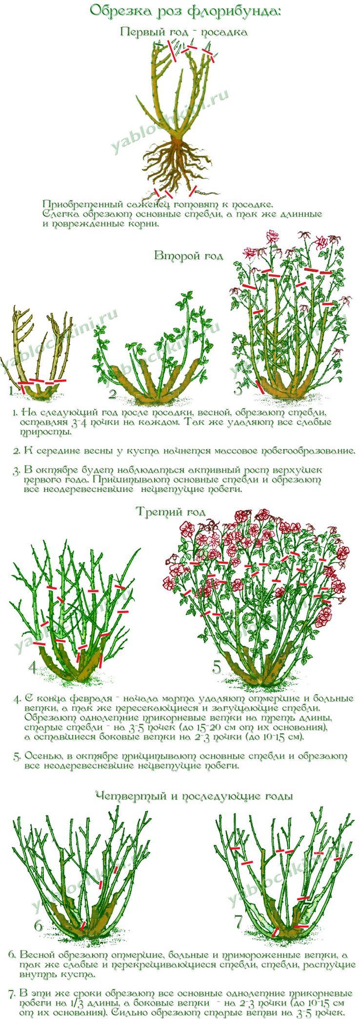 обрезка-роз-флорибунда
