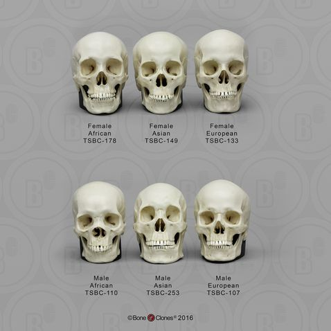 Replica Human Female Skull Set African, Asian, and European For.
