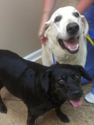 These are Shadow (11) & Sonny (9). The owner was a young man who passed away & his mother did not want the dogs - said she would put them down the next morning if someone did not take them. No one stepped up - not even lab rescue so Adopt a Golden Atlanta took them in. Sonny is healthy - he has an old injury and is a bit stiff. Shadow is heartworm positive and is receiving the slow treatment due to her age. They need to stay together & are free to a good home.  Adopt a Golden Atlanta.