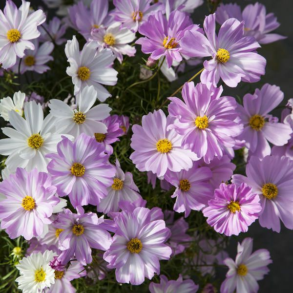 Cosmos Apollo Series Love Song In 2020 Annual Flowers Cosmos Flowers Flower Seeds