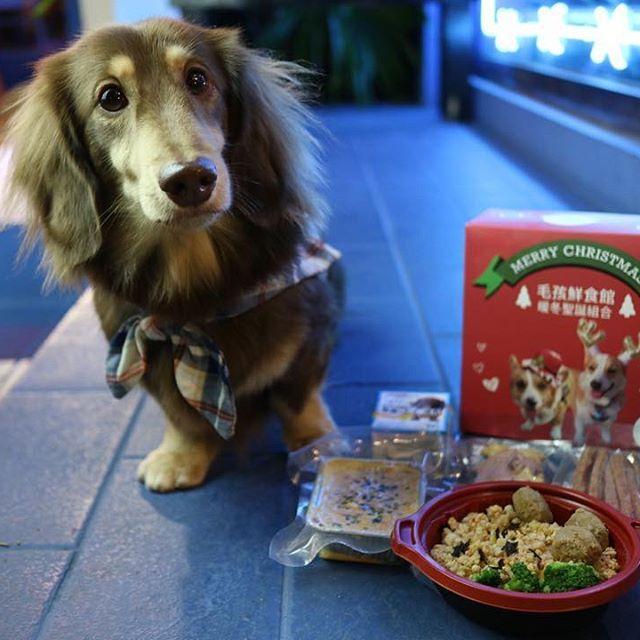 湯姆的聖誕大餐 #臘腸湯姆歷險記#臘腸#dog#dachshund#愛犬#犬#doggy#dogs#わんこ#ダックスフンド#ミニチュアダックス#ダックス#いぬらぶ#シニア犬#スムースダックス#ミニチュアダックスフンド#短足部#いぬ#毛孩鮮食館