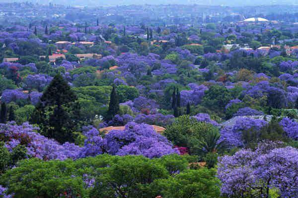 Pretória, África do Sul  Conheça o Jacarandá, uma das mais belas árvores do mundo,