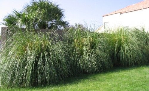 24 best images about privacy plants on pinterest pampas for Fast growing ornamental grass