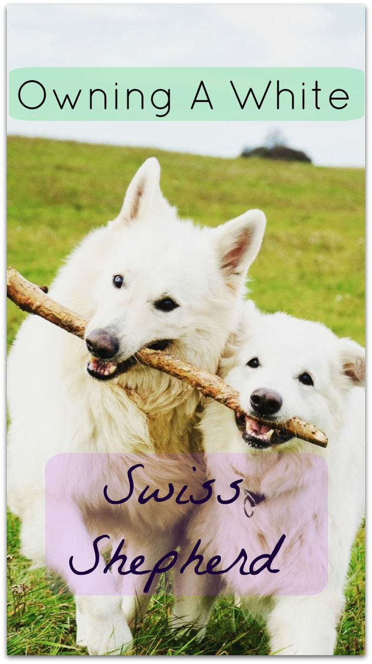 A Guide To Owning A White Swiss Shepherd, from my account of being a proud White Swiss Shepherd owner.