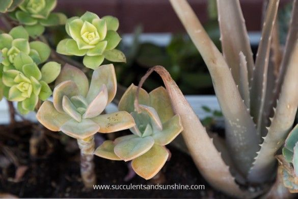 How much heat can succulents handle succulents and sun for How much sunlight do succulents need
