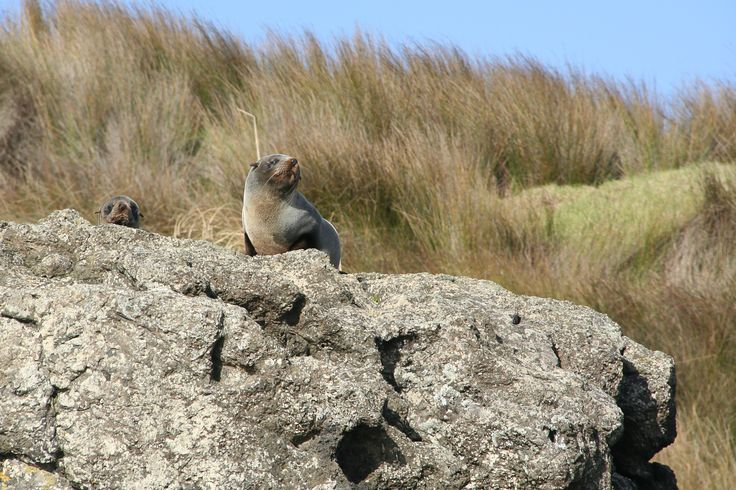 We don't do a lot of wildlife shots. But this photo on the coast between the #Herekino and #Whangape Harbors/Harbours in the Far North of New Zealand is the exception.  This picture demonstrates just how high seals can climb, despite being better designed for swimming.