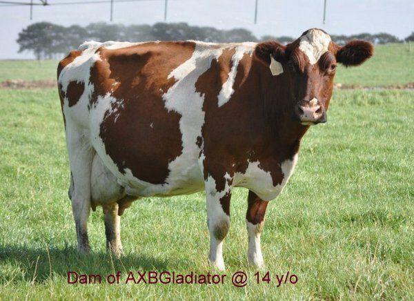 Scandinavian Red Cattle | Red Holstein