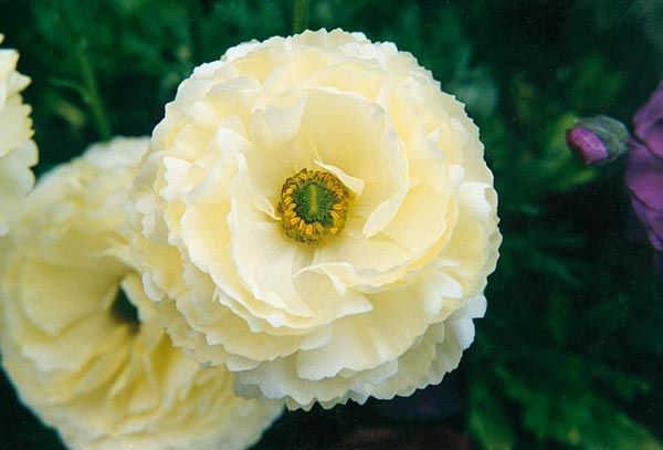 """Ranunculus asiaticus """"Bloomingdale White Shades"""" - Persian Buttercup. Tuberous herb with double, creamy-yellow flowers in spring."""