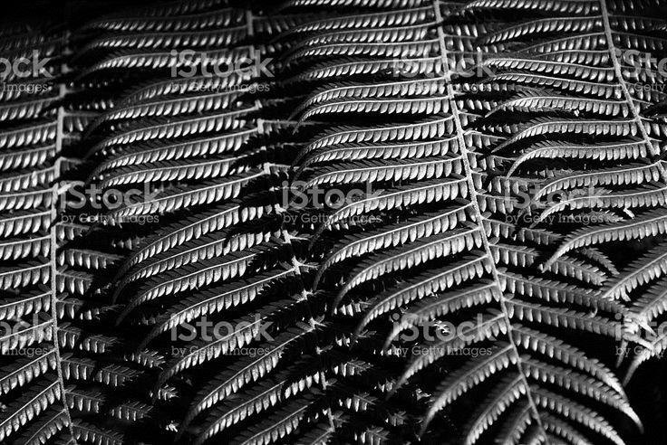 New Zealand Native Ponga or Punga Tree Fern Frond royalty-free stock photo