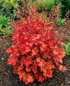 Heuchera (coral bells) grows most vigorously and has the stongest colors in partial shade (preferably afternoon shade).  Growth rate is very slow in full shade. Leaves showier than flowers.  Great contrast in the border.