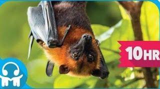 WHITE NOISE Australian Megabats Flying-foxes Fruit Bats | Megabats