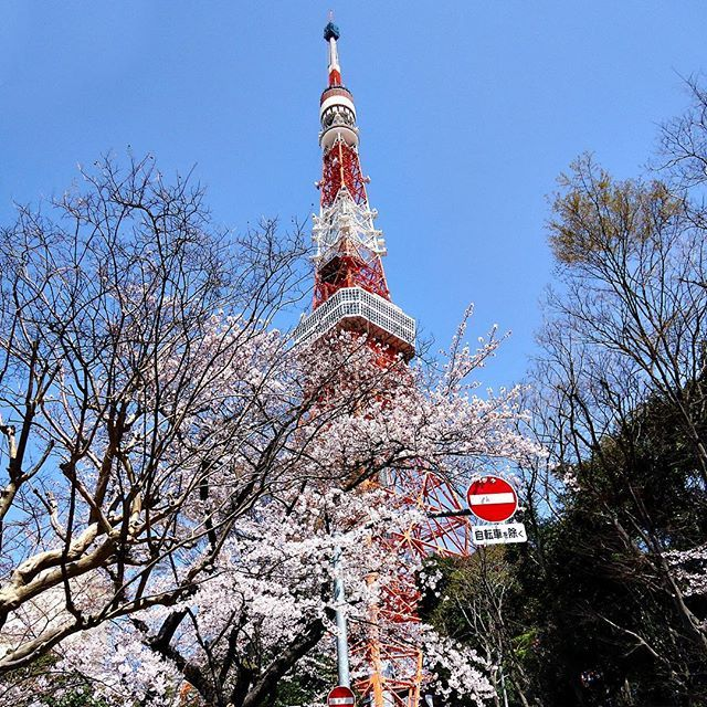 Torre de Tóquio, rodeado de cerejeiras floridas #tokyotower #cherryblossom #spring #seviranomundo #tokyo #sakura #paisagem #moments #trip #travel #aroundtheworld #japan #cerejeiras #toquio #travel #viagens #japantrip #explorejapan #nihon