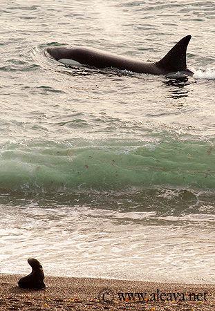 orca season valdes peninsula