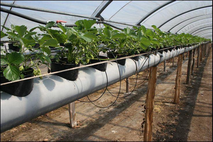 pingl sur planter des fraisiers sans entretien sur bache