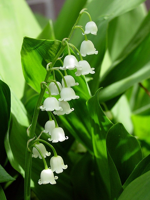 Momma's favorite flower - Lilly of the valley