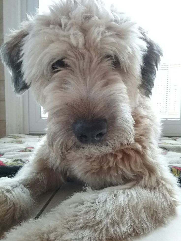 468 Best Dogs Images On Pinterest My Love Wheaten Terrier And