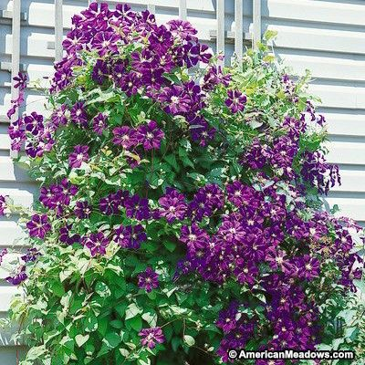 Full sun loving Jackmanii is the all-time favorite climbing flowering vine: The famous deep purple Jackmanii Clematis blooms all summer. (Clematis)
