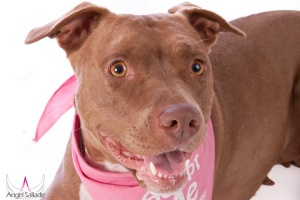 Roxie is an adoptable Pit Bull Terrier Dog in Bloomington, IL. Roxie is a 1 1/2 year old, female, chocolate and white American Pit Bull Terrier. She has a warm, sweet and calm temperament and she weig...1 Year