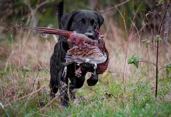 Gundogs - Picking up and field trials