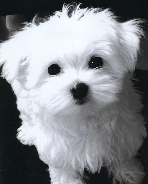 Maltese puppy cut                                                                                                                                                                                 More
