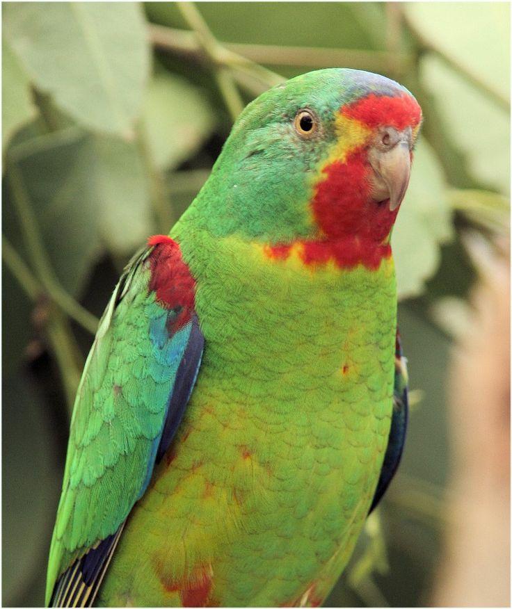 868 best AUSTRALIAN PARROTS images on Pinterest | Exotic ...