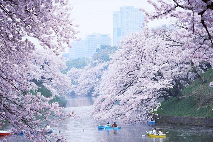 """Il Giappone è una terra di antiche tradizioni. L' hanami - letteralmente """"ammirare i fiori"""" - è una di queste e indica la"""