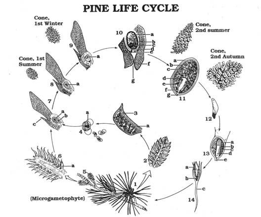 14 Best Cones Images Botany Pine Cones And
