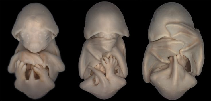Molossus rufu (black mastiff bat) embryos. Dorit Hockman