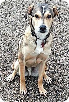Buena Vista, CO - Australian Shepherd Mix. Meet Odin, a dog for adoption. http://www.adoptapet.com/pet/14482754-buena-vista-colorado-australian-shepherd-mix