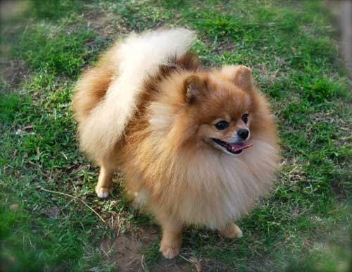 Red Pom - Simba - Dee Dees Pomeranians | Dogs & Puppies 1 ...