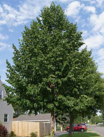 Hybrid Poplar Tree 25+ best ideas about S...