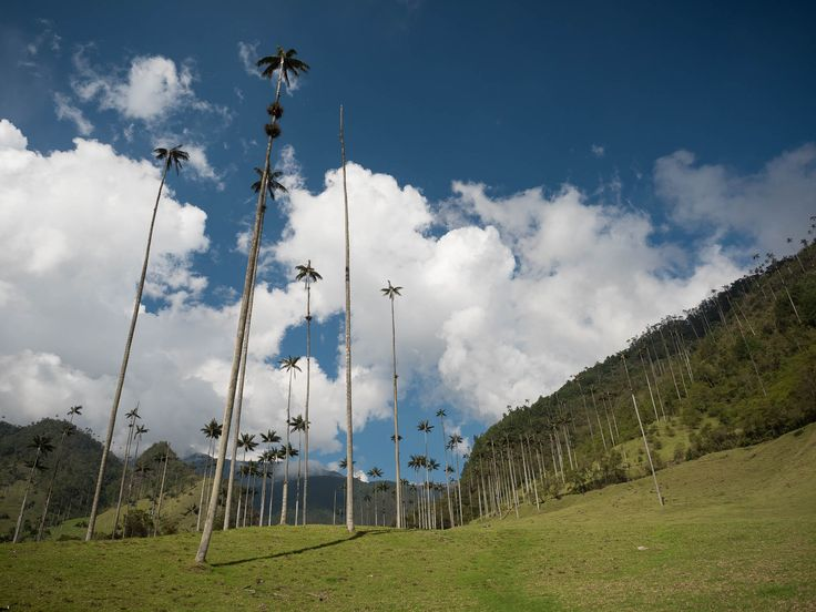 Valle de Cocora, a valley in the Colombian coffee region, where green slopes and…